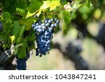 bunch of red grapes for red...   Shutterstock . vector #1043847241