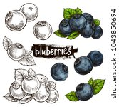 Blueberries. Hand Drawn...