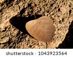 dry brown heart shaped leaf on... | Shutterstock . vector #1043923564