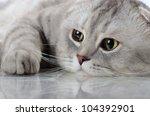 Stock photo fluffy gray beautiful adult cat breed scottish fold very close up portrait 104392901