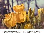 vivid yellow tulip flowers...   Shutterstock . vector #1043944291