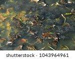 Common Frog  Rana Temporaria  ...