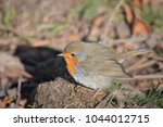 A Robin On The Ground