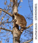 Small photo of Raccoon (Procyon lotor) climbs tall tree larch