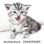 Stock photo the kitten meows shouts purebred kitten baby kitten 1044050485