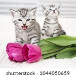 Stock photo the kitten meows shouts purebred kitten baby kitten 1044050659