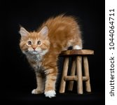 Stock photo red tabby with white maine coon cat kitten stepping of on a wooden stool isolated on black 1044064711
