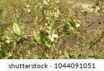 Small photo of Santa Blanca, San Antonio, Chile; October 07, 2015: A blueberry plant in which flowers and fruits are appreciated in the Sector of Santa Blanca.