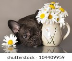 Stock photo chamomile flowers and french bulldog puppy 104409959