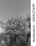 Small photo of Decorative onion Allium. Monochrome.