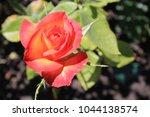red rose  botanic gardens ...   Shutterstock . vector #1044138574