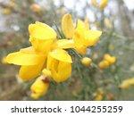 macro photo of gorse plant... | Shutterstock . vector #1044255259