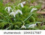 white spring snowdrops.... | Shutterstock . vector #1044317587