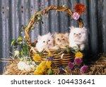 Three Little Persian Kittens In ...