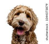 head shot of golden labradoodle ...   Shutterstock . vector #1044373879