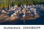 dalmatian pelicans  pelecanus... | Shutterstock . vector #1044380299
