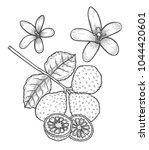 bergamot vector drawing.... | Shutterstock .eps vector #1044420601