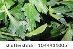 parsley leaf. green parsley.... | Shutterstock . vector #1044431005