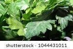 parsley leaf. green parsley.... | Shutterstock . vector #1044431011
