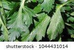 parsley leaf. green parsley.... | Shutterstock . vector #1044431014