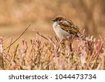 male house sparrow or passer... | Shutterstock . vector #1044473734