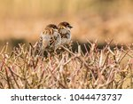 male house sparrow or passer... | Shutterstock . vector #1044473737