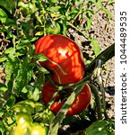 Small photo of summer, sunny day. a bush of tomato on a bed. two red fruits on a branch among the leaves and green fruits on a background of gray eath. glares, shadows. close-up