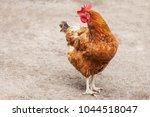 red chicken hen outside walking ... | Shutterstock . vector #1044518047