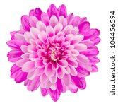 Stock photo pink chrysanthemum flower isolated on white background macro closeup 104456594