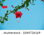 the red chinese rose  gudhal ... | Shutterstock . vector #1044726169