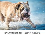 Beautiful Engish Bulldog...