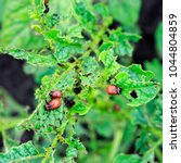 Small photo of the square background with an unpleasant slippery red insects pests are the larvae of the Colorado potato beetle was obladali green shoots growing in the garden