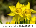 many yellow daffodils in spring ... | Shutterstock . vector #1044873211