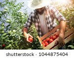 harvest ripening of tomatoes in ... | Shutterstock . vector #1044875404