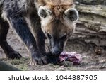 spotted hyena eating meat from... | Shutterstock . vector #1044887905
