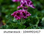 Purple Pansy Closeup