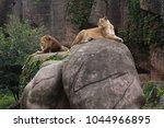 Lioness Lying On Large Boulder...