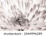 chrysanthemum in full bloom.... | Shutterstock . vector #1044996289