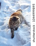 Small photo of walking prowl on snow siberian cat