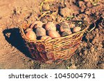 harvest. ripe potatoes in a... | Shutterstock . vector #1045004791