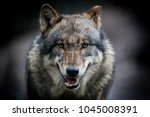 scary dark gray wolf  canis... | Shutterstock . vector #1045008391