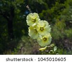 Small photo of Pale yellow flowers on Hollyhock, Alcea Rugosa, close-up with bokeh background, selective focus, shallow DOF