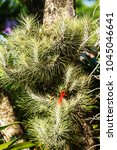 Small photo of Air plant with red flower, Tillandsia funckiana, on tree in the garden