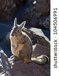 Small photo of Andean animal viscacha (Lagidium peruanum)