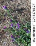 purple viper's bugloss  echium... | Shutterstock . vector #1045178827