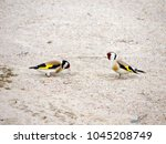 Two Male European Goldfinches ...