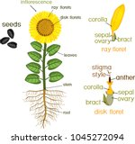 parts of sunflower plant.... | Shutterstock .eps vector #1045272094