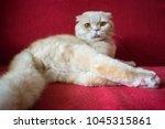 adult scottish fold cat lies on ... | Shutterstock . vector #1045315861