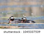 pair of red necked grebes close ... | Shutterstock . vector #1045337539