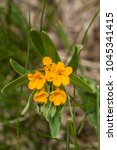 Small photo of Hoary Pucoon wildflower